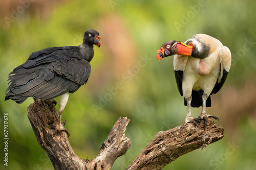 Fotomural The king vulture (Sarcoramphus papa) is a large bird found in Central and South America