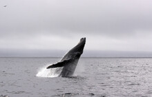 Jump Of A Humpback Whale (picture 2 In A Series Of 8). The Wheather Is Typical For A Summer Day In Monterey (California) Bay, Grey And Low Hanging Clouds.