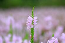 Labiatae Perennial Perennial P...