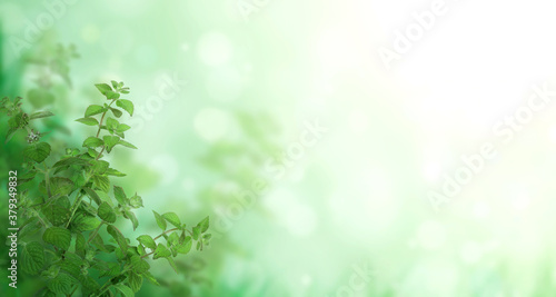 Horizontal banner with green peppermint leaves Canvas Print