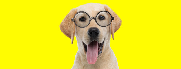 happy labrador retriever dog wearing glasses and panting