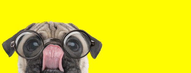 adorable pug puppy wearing glasses and licking nose