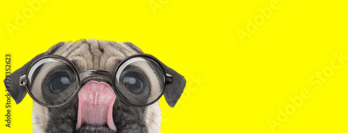 Fotografía adorable pug puppy wearing glasses and licking nose