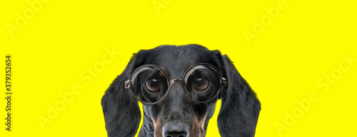 Fototapeta shy teckel dachshund dog with big eyes wearing glasses obraz