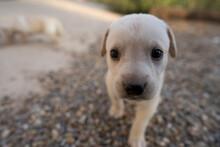 Labrador Pequeño Cachorro Blanco Reciéntenme Nacido
