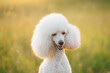 small white poodle on the grass.