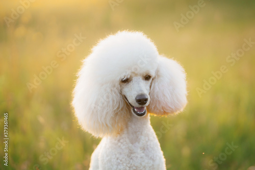 Fototapeta small white poodle on the grass. obraz