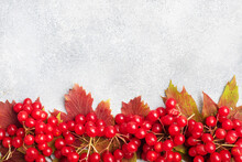 Red Berries Of Fresh Viburnum With Leaves On A Gray Concrete Background. Copy Space.