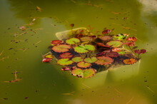 White Jars With Water Lilies In The Pond.