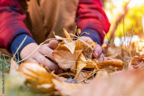 Fototapeta A toddler or a preschool child plays in an autumn park, rakes up yellow and red oak and maple dry leaves with his hands, holds in his hand. Outdoor activities and fun in the fall season. obraz