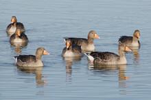 Greylag Geese (Anser Anser) Sw...