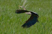 Purple Heron (Ardea Purpurea) Flying Off A Reedbed