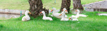 Duck White On The Green Grass