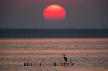 Grey Heron And Dramatic Sun At...