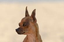 Close-up Portrait Of A Little Pincher Dog