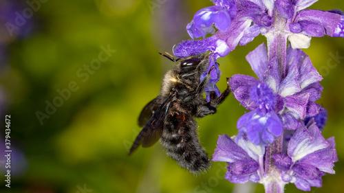 Blaue Holzbiene an einer lila Blüte