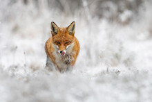 Red Fox, Vulpes Vulpes, Hunting On Meadow In Wintertime Nature. Wild Predator Licking Its Mouth With Pink Tongue And Staring Into Camera. Orange Beast Going Forward On Snowy Field With Copy Space.
