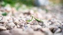 Green Praying Mantis Crosses A...