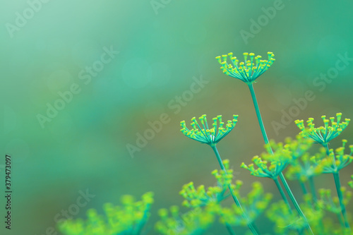 Obraz Close up of blooming dill flowers isolated on blurred background. - fototapety do salonu