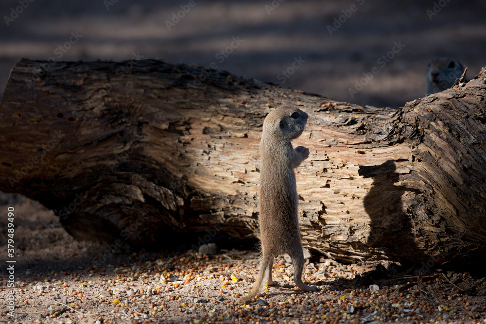 Ground squirrel stands upright in funny, humorous shadow play. Location is Arizona in American Southwest.