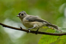 Juvenile Tufted Titmouse On A Branch
