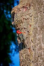 Redheaded Woodpecker On Tree T...
