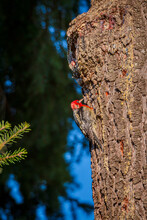 Redheaded Woodpecker On Fir Tree