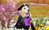 Dog in pirate masquerade costume playing trick or treat for Halloween