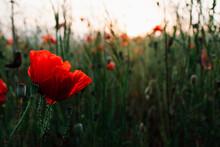 Single Deep Red Color Poppy Flower Growing On A Green Wild Summer Field