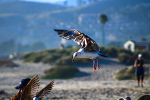 A Brown And White Seagull In F...