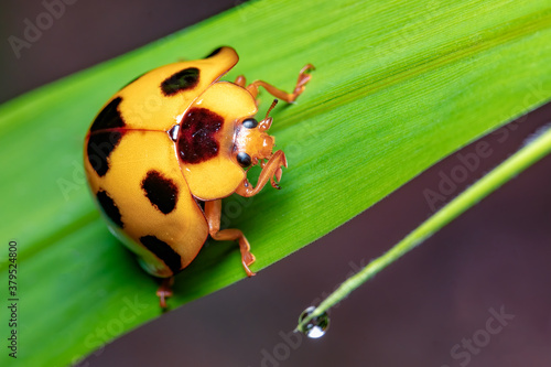Fototapeta Closeup yellow ladybird on green leaf
