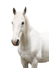 Portrait White Horse Isolated On White Background