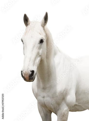 Fotografia portrait white horse isolated on white background
