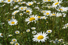 A Close Up Of Wild Ox-eye Daisies (Leucanthemum Vulgare) In The Field, Selective Focus. Summer Meadow With Chamomile And Daisy Fleabane Flowers On A Clear Sunny Day