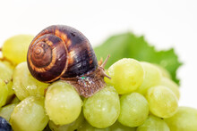 A Snail And A Bunch Of Grapes ...