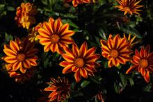 Colorful Gazania Flowers Or Af...