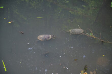 Two Turtles In A Pond