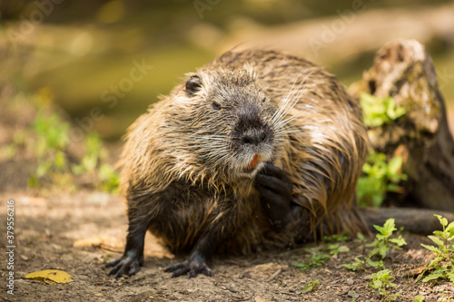 Photo The coypu (Myocastor coypus), large brown rodent , detail portrait, wild scene from nature, Slovakia