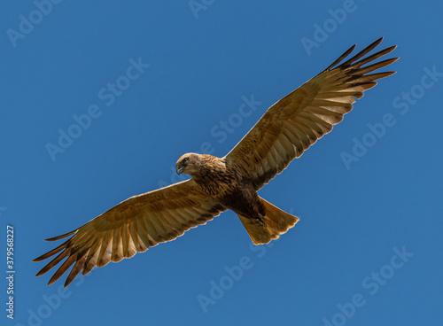 Cuadros en Lienzo western marsh harrier (Circus aeruginosus) bird of prey in flight
