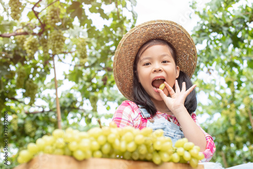 Fototapeta A cute girl wearing a plaid hat and shirt, harvested grapes, put them in a wooden box to sell. The child picked up grapes to taste. Asian children work hard to help the family business. obraz