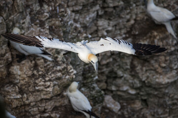 Northern gannet glides passed a colony