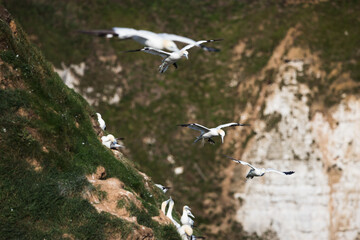 Northern gannets in flight as they pass a colony