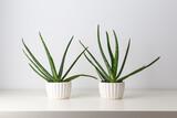 Aloe in white pots on a white background. Minimal. Houseplant