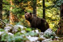 Brown Bear - Close Encounter W...