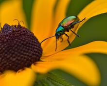 A Dogbane Beetle (Chrysochus A...