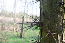 Large Thorns On The Acacia Tre...