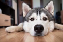 Photo Of A Husky Dog Close-up ...