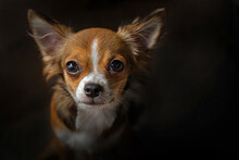 Portrait Of A Chihuahua Long H...