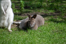 Closeup Shot Of White And Brown Wallabies On Green Grass
