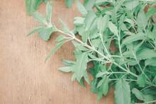 Thai Fresh Holy Basil Plant
